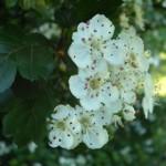 Weißdorn, blühend